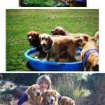7th Annual Norcal Golden Retriever Rescue Playday